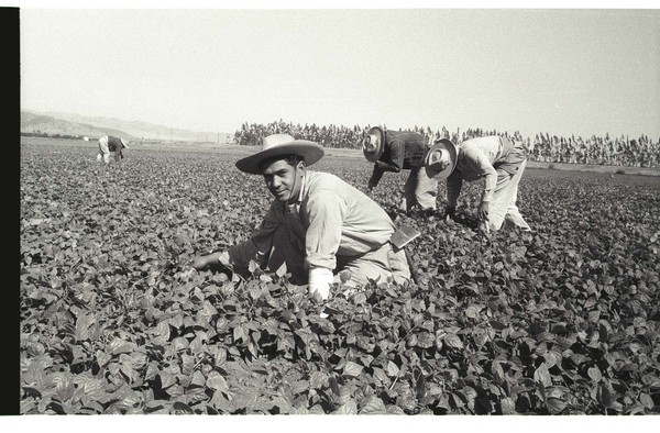 A bracero kneels in a pepper field in California to loosen the soil with a short-handled hoe. (Bracero Archive)