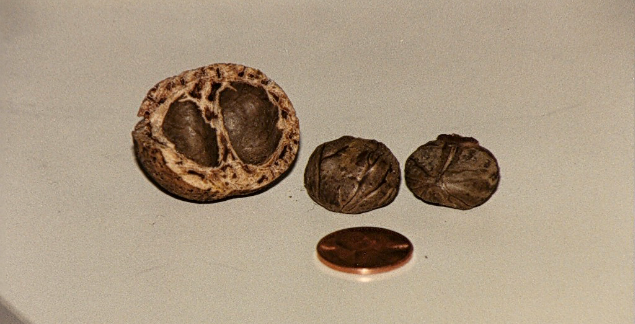 Mongongo nut seed pod and seeds, with US penny for size comparison. (photo: NoodleToo).