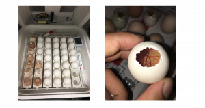 photo of chick eggs and developing vasculature