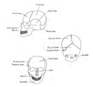 Front, back and side view drawings of skull
