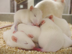 Rat Pups