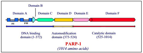 Allosteric sites on PARP-1
