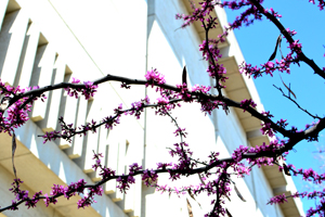 A blooming Redbud tree in front of the Harry Ransom Center. Photo by Anthony Maddaloni.