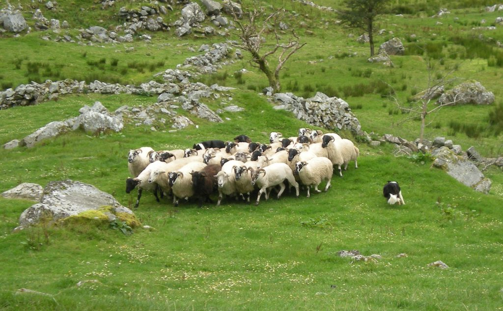 Kissane Sheep Farm, dog rounding up sheep by commands