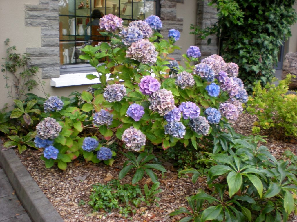 Three Color Hydrangea