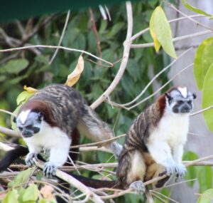 Tamarin monkeys - courtesy of Ella Quinlan