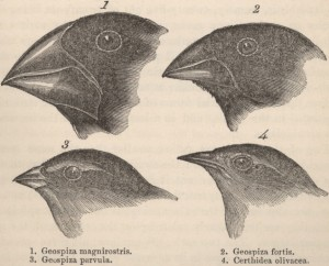Four finches from the Galápagos islands: this image appeared in the   second edition (1845) of Darwin's Voyage of the Beagle.