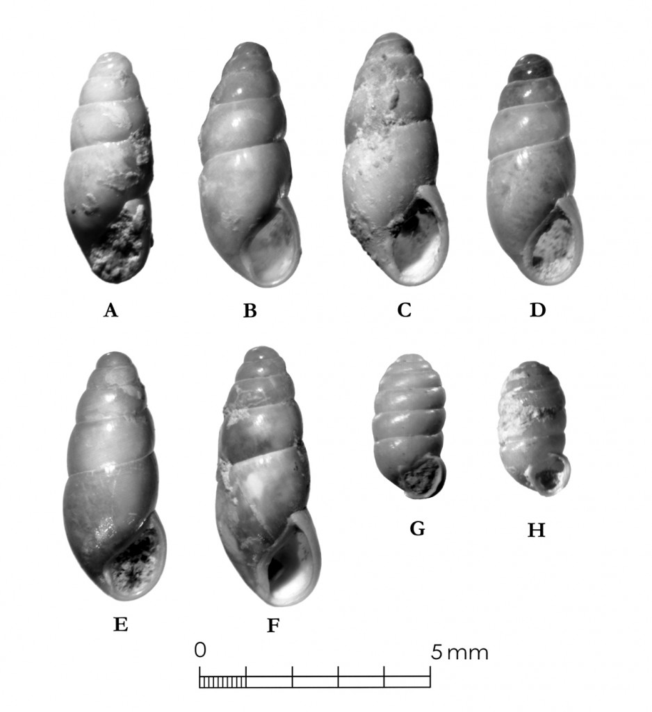 Terrestrial snails (Cochlicopa and Pupilla sp.) from the Vara Daniel site (mostly from deep auger tests). These are probably Pleistocene marker species and were perhaps extirpated in Central Texas before the Younger Dryas. They illustrate the effect of long-term climate change on snail faunas. Source: Archaeological Excavation of a Deeply Buried Paleoindian Component at the Vara Daniel Site (41 TV 1364), Travis County, Texas, Appendix K, Fig. K-11. EComm, 2010.