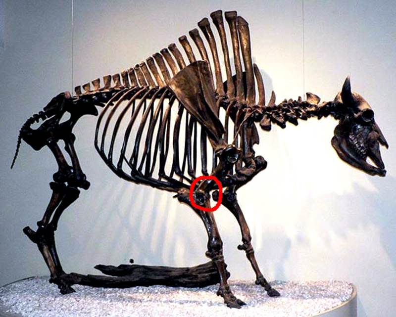 This is a photograph taken of a fully reconstructed Bison antiquus skeleton on exhibit.  The red circle indicates where on the skeleton her find would have been located during the life of the bison.