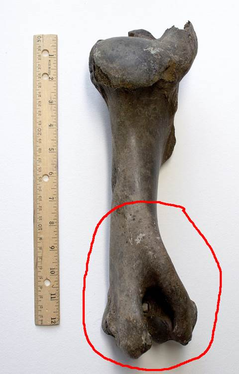 This is a photograph of an intact humerus from Bison antiquus; the circle indicates the part of the humerus that Shelby brought up from the creek.