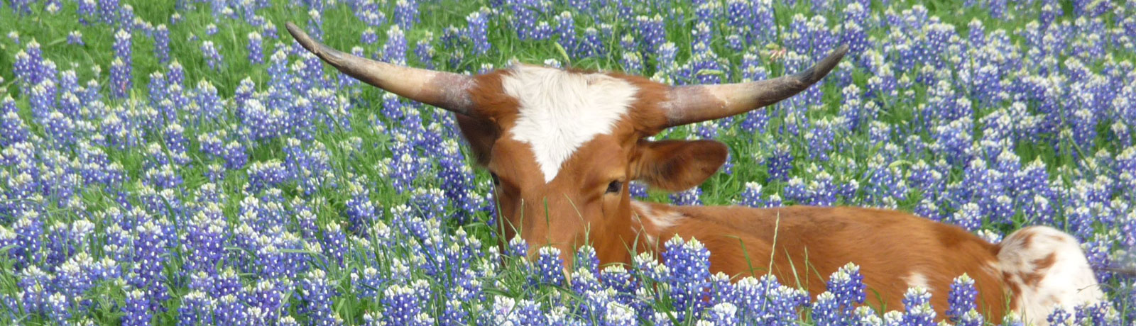 Longhorns are Shy