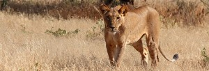 African lion female_Larry Bright