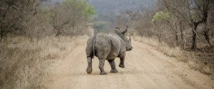 Rhinos Moved From the Kruger National Park