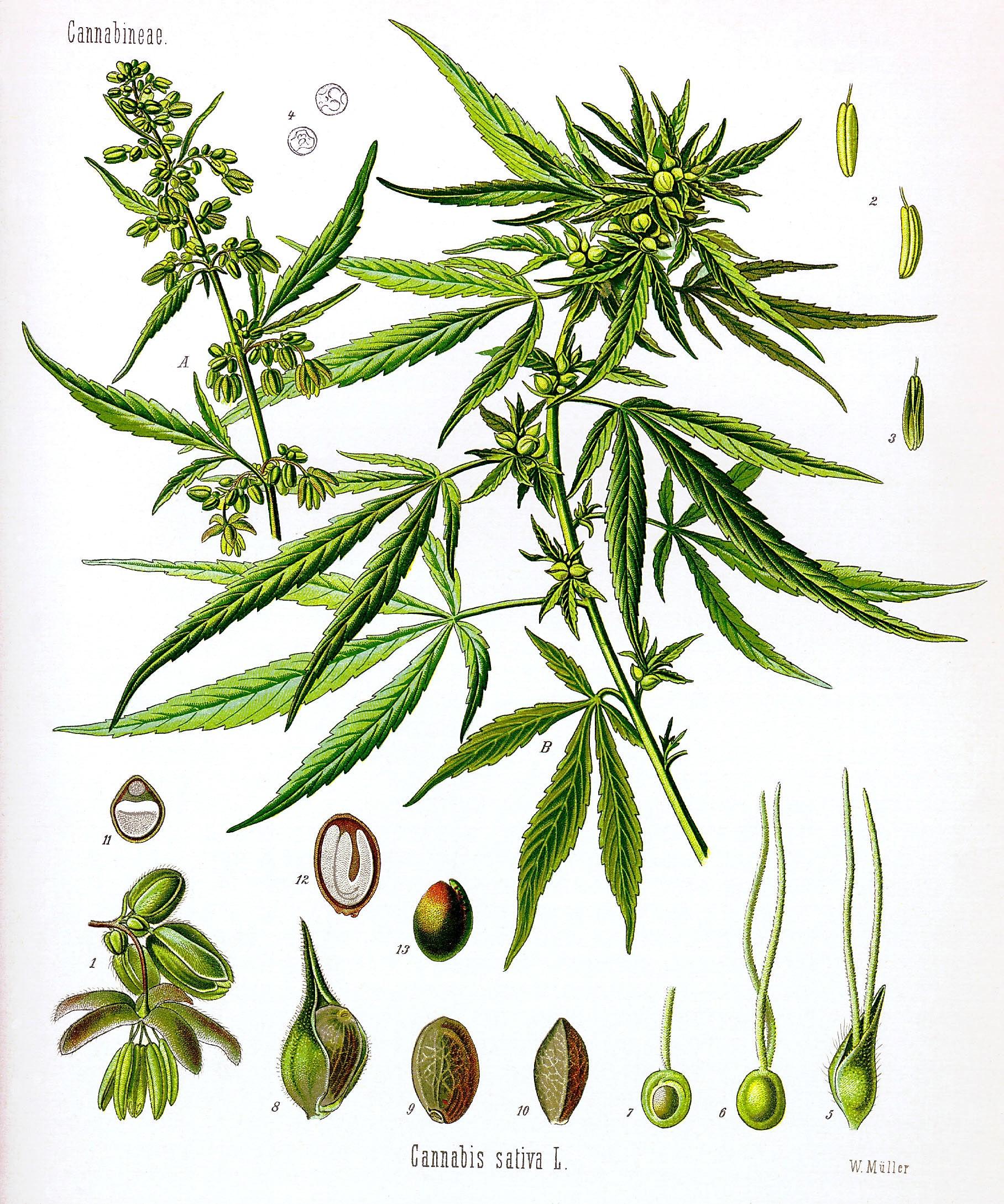 Diagram of Marijuana Plant