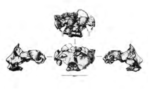Drawings of front back and both sides showing The cranium is not only fragmentary, but also incomplete.