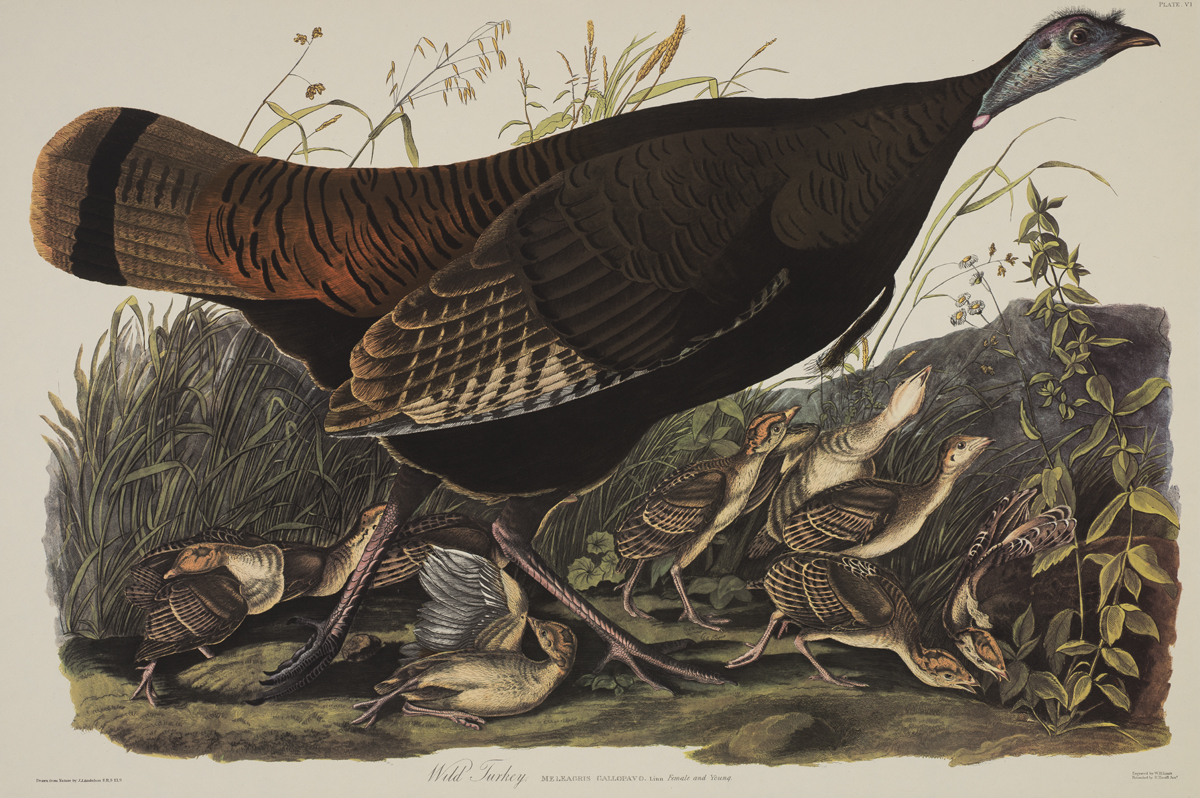 "John Audubon's illustration of a wild turkey from ""Birds of America."" 1827."