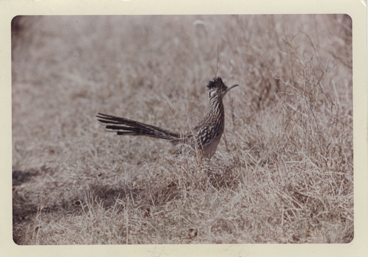 "Mary Anne McClendon. Photograph of roadrunner at Kerrville State Park, March 1962. The roadrunner or ""Paisano"" was Dobie's emblem, used on his stationery. People frequently sent him photographs or artwork depicting roadrunners."