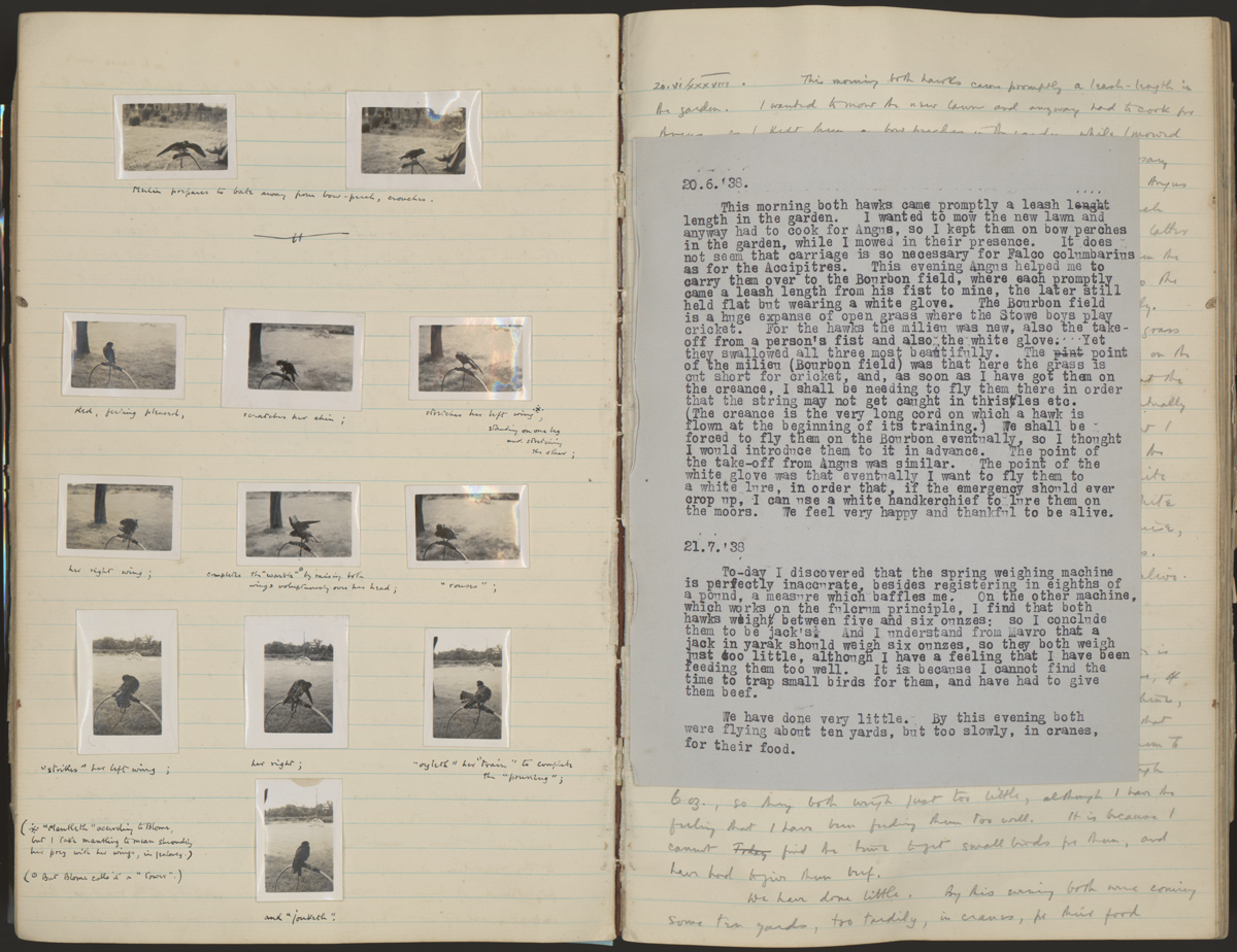 Holograph and typescript manuscripts of White's 1938-1939 hawking diary, featuring photographs of his young merlins, Balin and Balan. The captions illustrate terminology from Richard Blome's classic guidebook, Hawking; or, Faulconry (1686). White's copy is held in the Ransom Center's book collections.