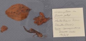 Photo of the pressed flower and obscured text before humidification