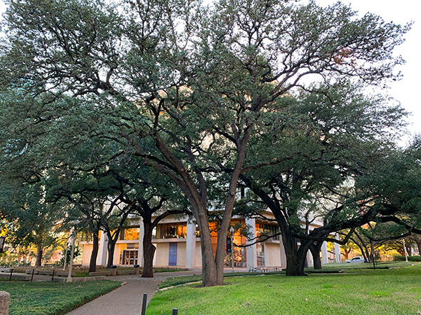 The surrounding plaza east of the Harry Ransom Center currently is planted with live oaks, native grasses, drought-resistant perennials, rocks and cacti, surrounded by concrete sidewalks. Photo by the author (2020).