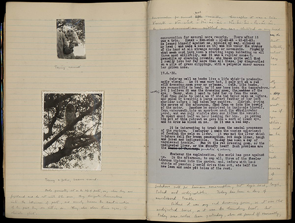Another owl, named Tawny, in T.H. White's journal pages with photographs (June 17, 1938), which HRC fellow Helen McDonald researched for her book, H is for Hawk (Vintage, 2014). Harry Ransom Center, University of Texas at Austin.