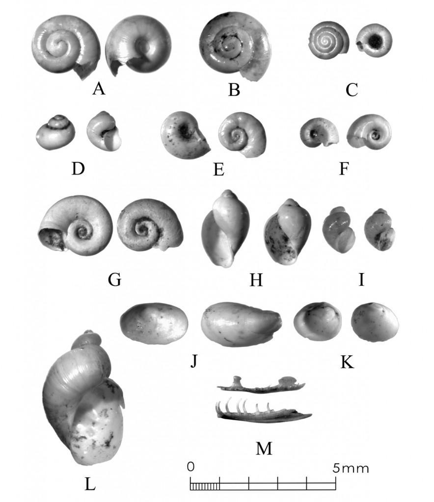 Sampling for terrestrial and aquatic snails at a Late Prehistoric-Protohistoric site in Dallas County recovers a variety of biological material. A-C are terrestrial snails, D-I and L are aquatic snails, J is freshwater limpets, K are peaclams, and M is a pair of mandibles, possibly from embryonic or newly hatched snakes. Source: Archeological Data Recovery at Fish Creek Slough Site (41 DL 436), Fig. 6-6. AmaTerra, 2014.