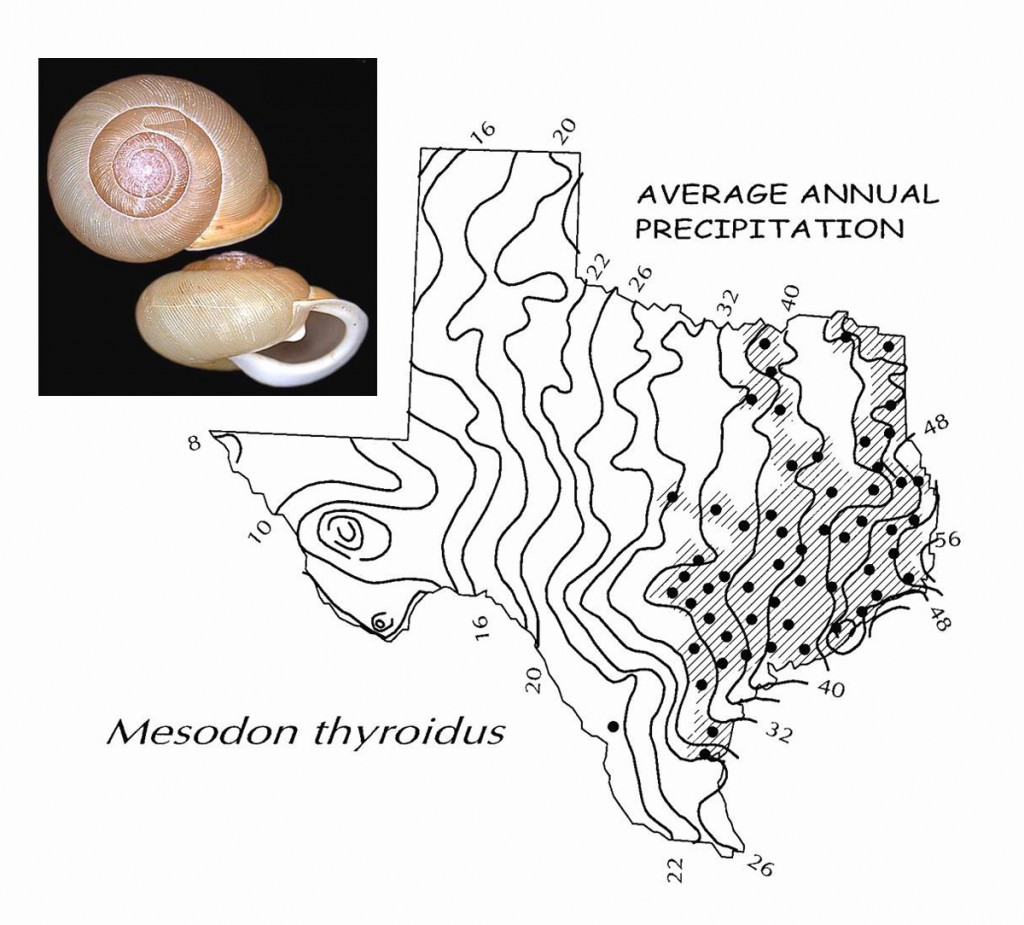 More than anything else, snails are sensitive to moisture levels in their immediate environment, since they can't travel to water sources. The shaded area shows the species range for Mesodon thyroidus, a common large-bodied woodland species (the dots are individual county records). The isopleth map shows the species is restricted to areas with at least 32 inches of annual precipitation (the single outlier in the lower Rio Grande valley a restricted habitat of some sort). This plot uses geography to demonstrate moisture sensitivity, but we can also use this knowledge to trace changes over time instead of space.