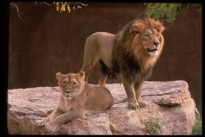 Panthera Leo Persica_photo