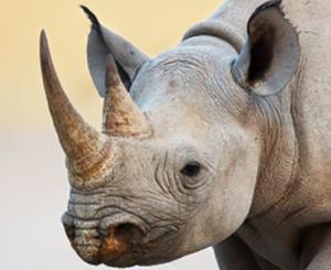 Black-rhino-Etosha