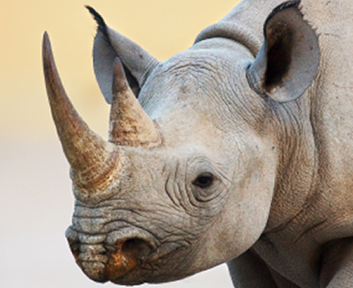 Conspicuous Consumption and Wildlife - Global Wildlife ...
